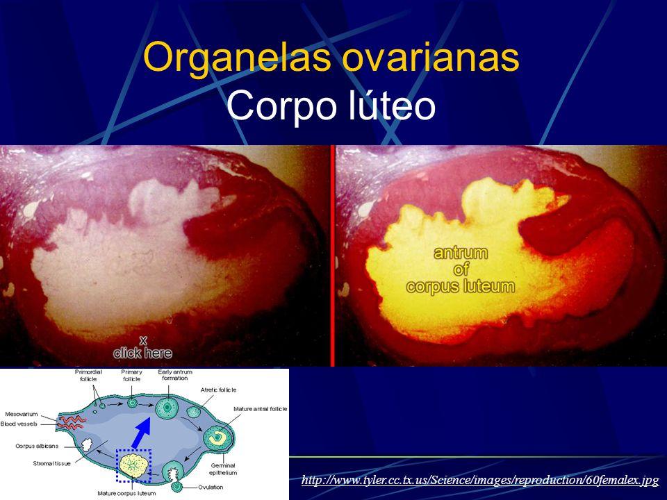 Organelas ovarianas Corpo lúteo
