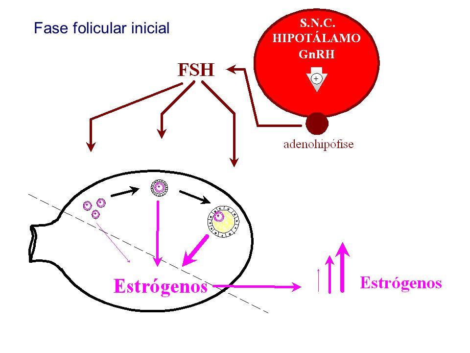 Fase folicular inicial