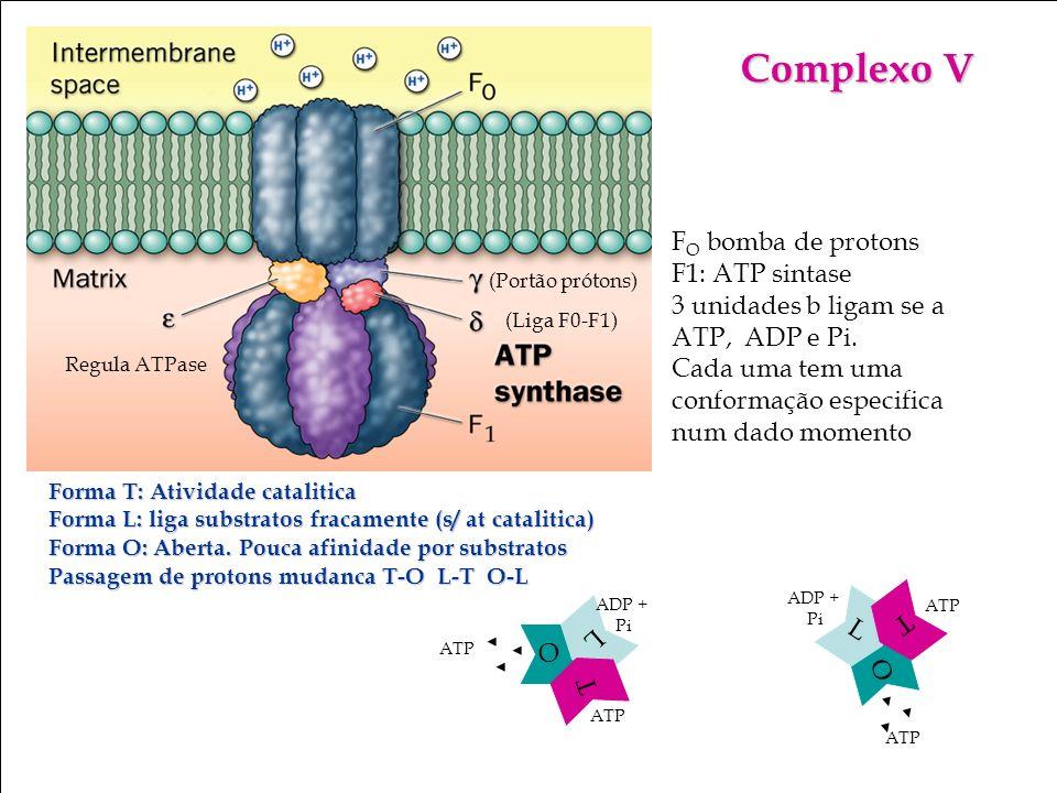 Complexo V FO bomba de protons F1: ATP sintase