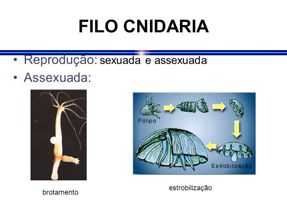 FILO CNIDARIA Reprodução: sexuada e assexuada Assexuada: