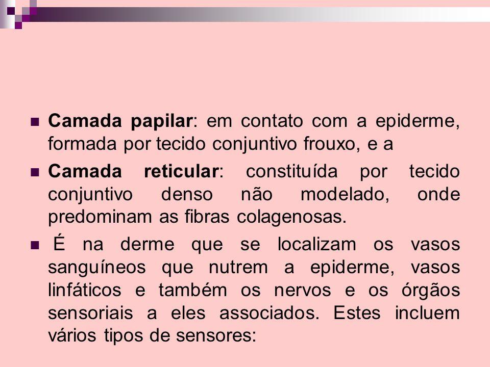 Camada papilar: em contato com a epiderme, formada por tecido conjuntivo frouxo, e a