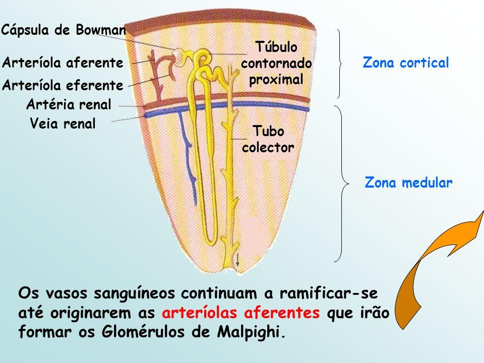 Túbulo contornado proximal