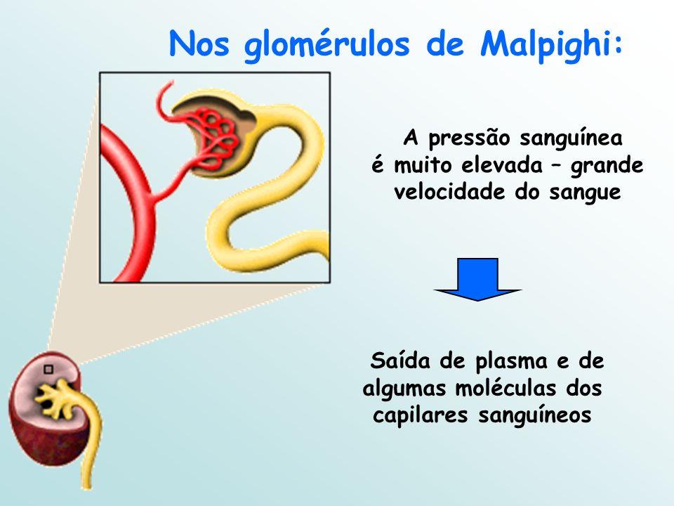 Nos glomérulos de Malpighi: