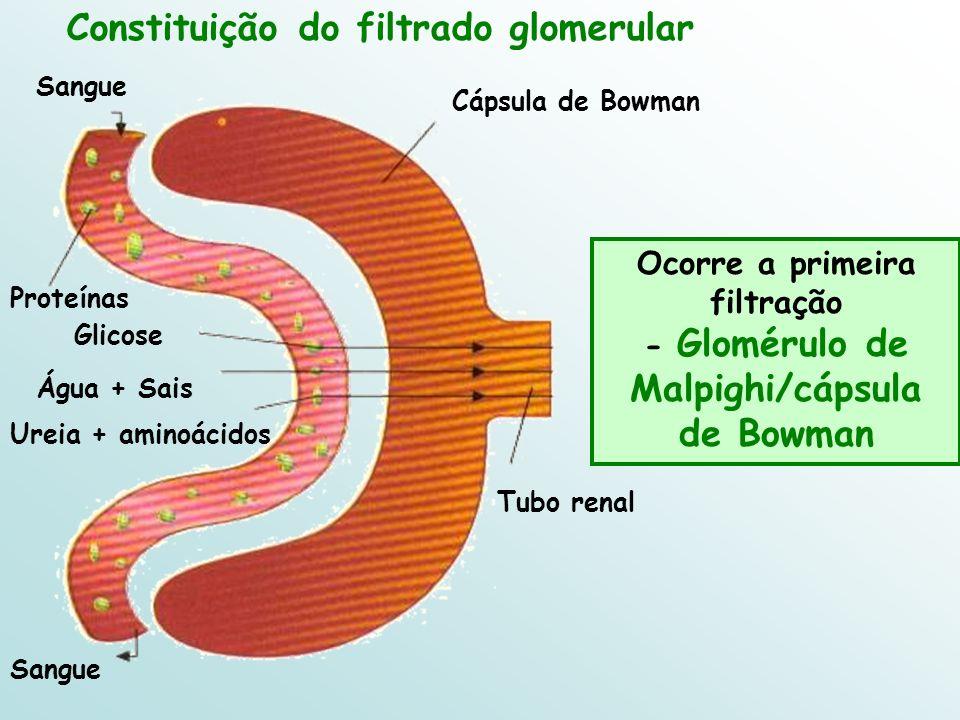 Ocorre a primeira filtração - Glomérulo de Malpighi/cápsula de Bowman