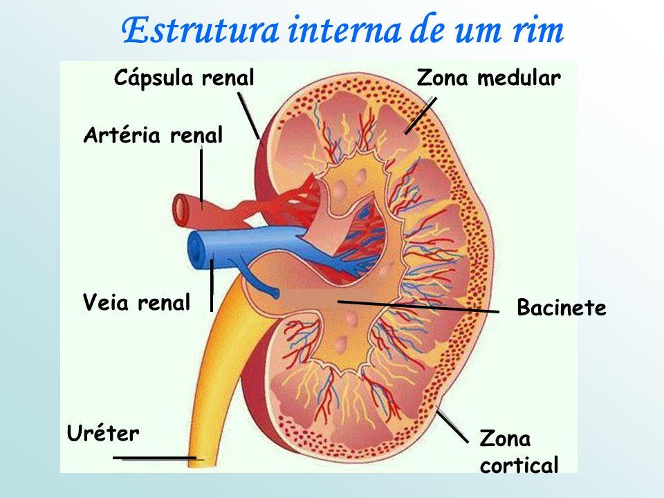 Estrutura interna de um rim