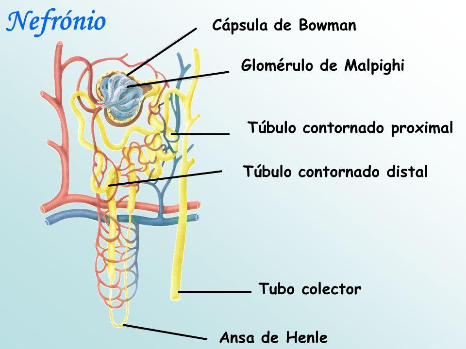 Túbulo contornado proximal Túbulo contornado distal