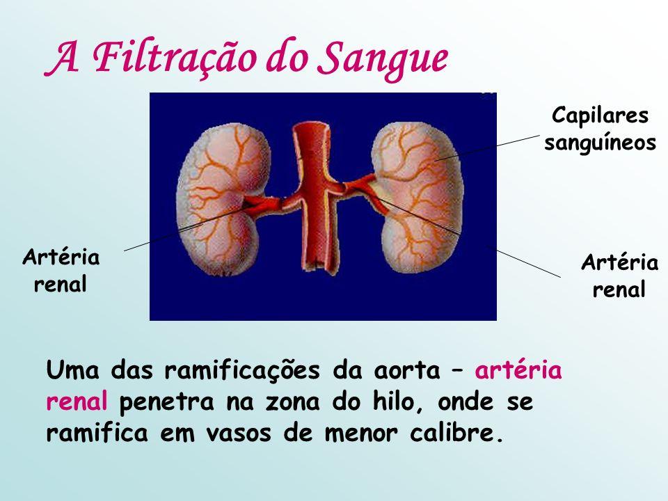 A Filtração do Sangue Artéria renal. Capilares sanguíneos.