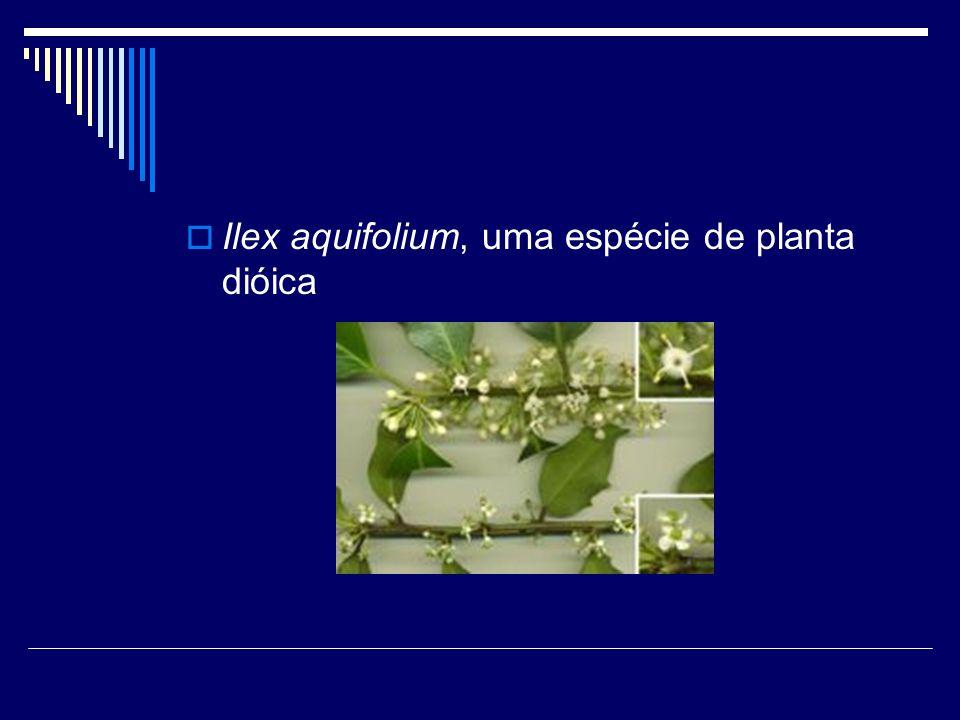 Ilex aquifolium, uma espécie de planta dióica