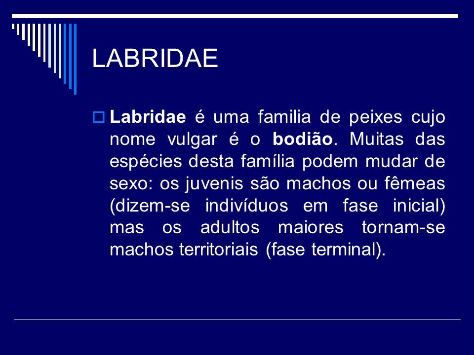 LABRIDAE