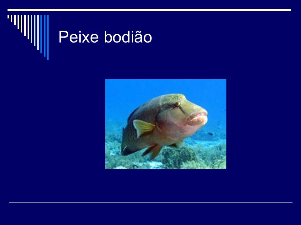 Peixe bodião