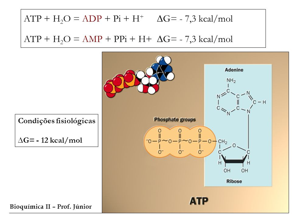 ATP + H2O = ADP + Pi + H+ ∆G= - 7,3 kcal/mol