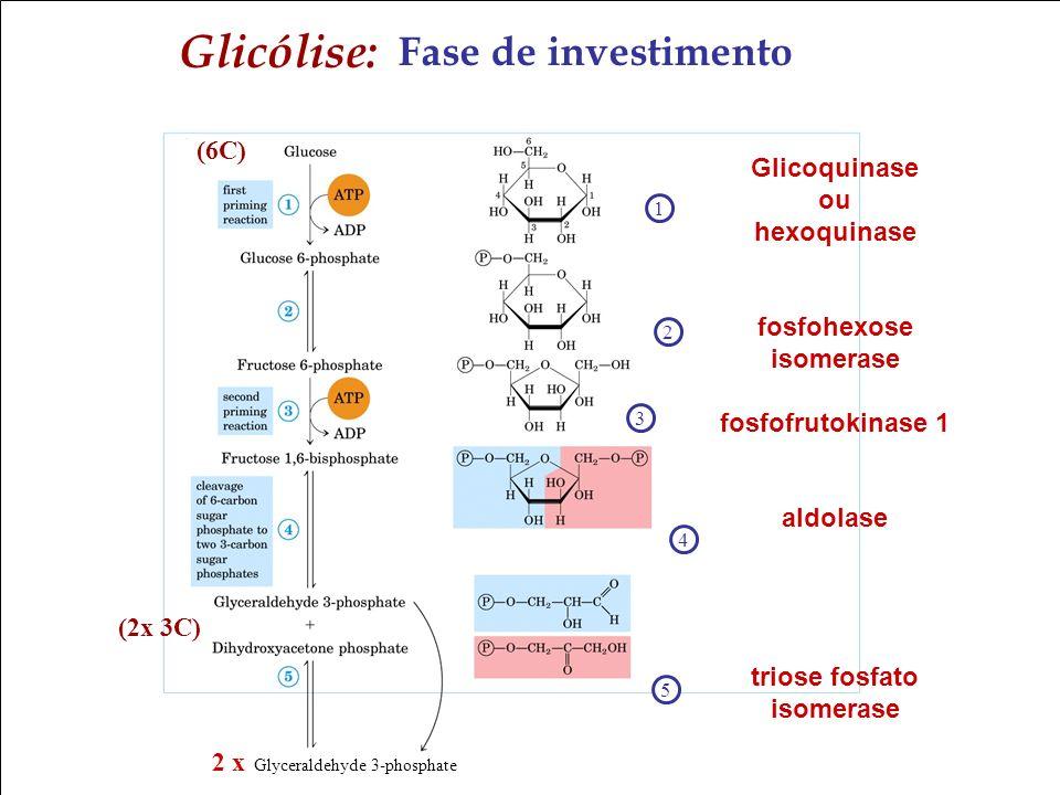 Glicólise: Fase de investimento (6C) Glicoquinase ou hexoquinase