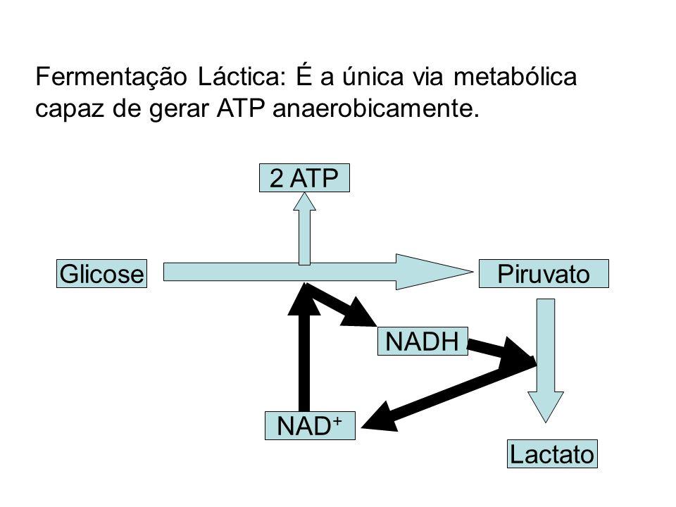 Fermentação Láctica: É a única via metabólica capaz de gerar ATP anaerobicamente.