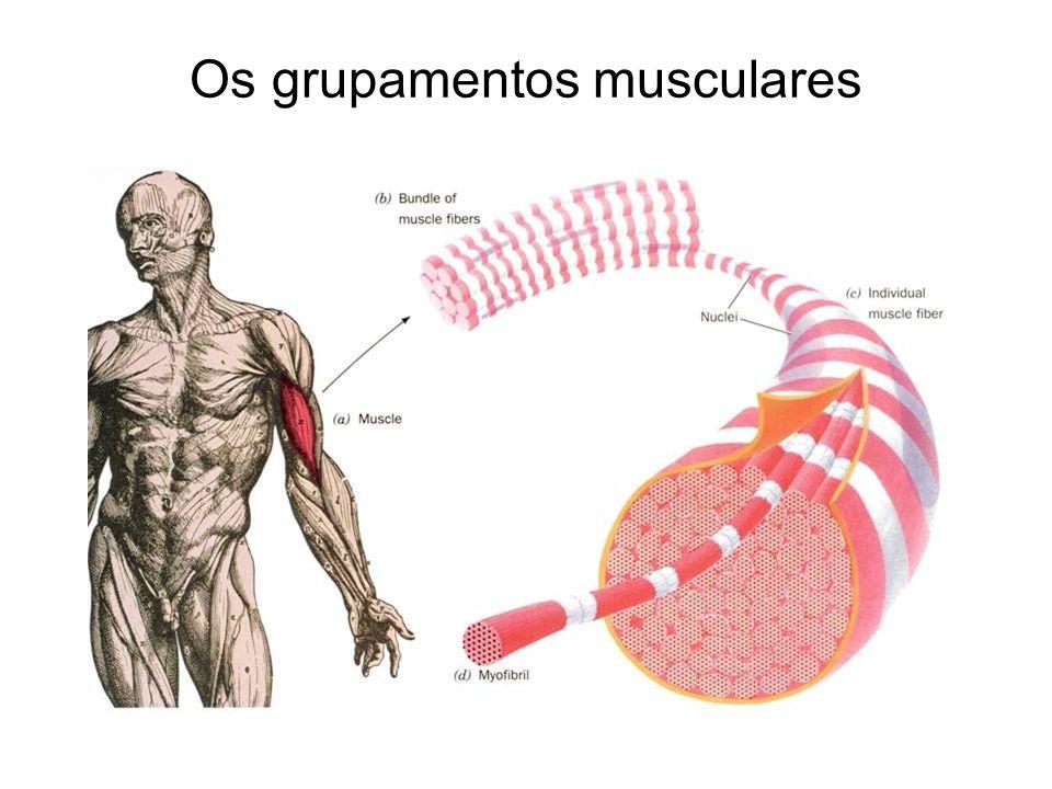 Os grupamentos musculares