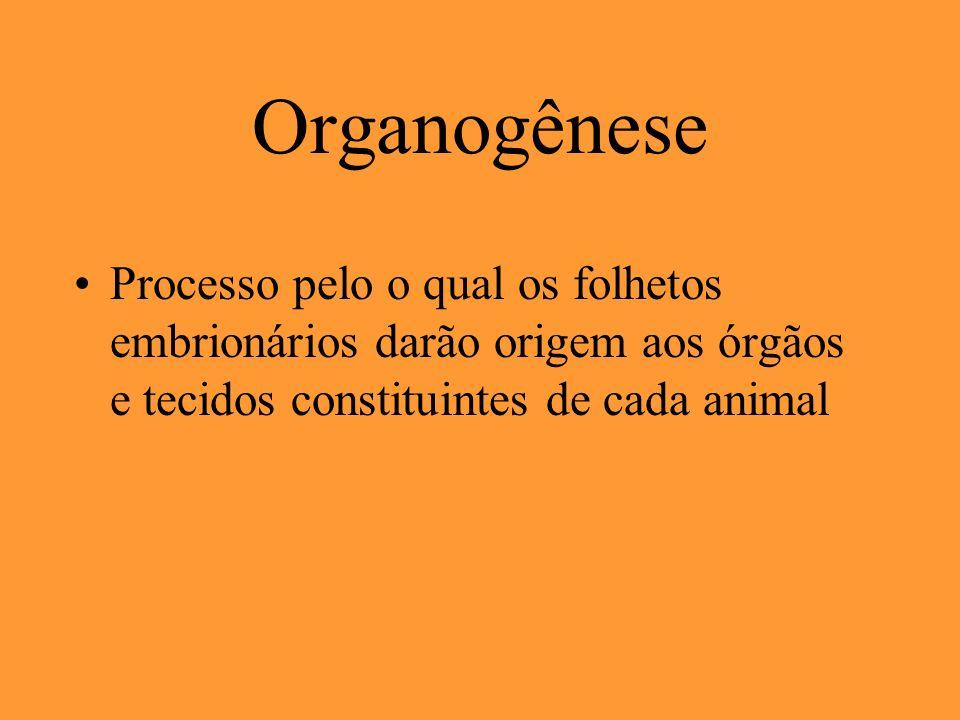 Organogênese Processo pelo o qual os folhetos embrionários darão origem aos órgãos e tecidos constituintes de cada animal.