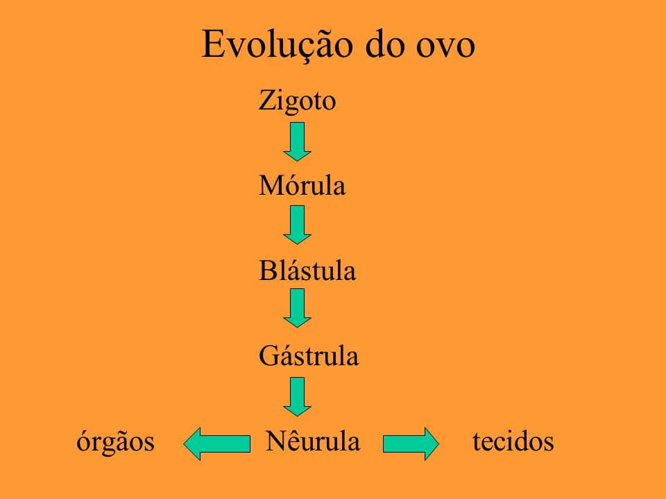Evolução do ovo Zigoto Mórula Blástula Gástrula órgãos Nêurula tecidos