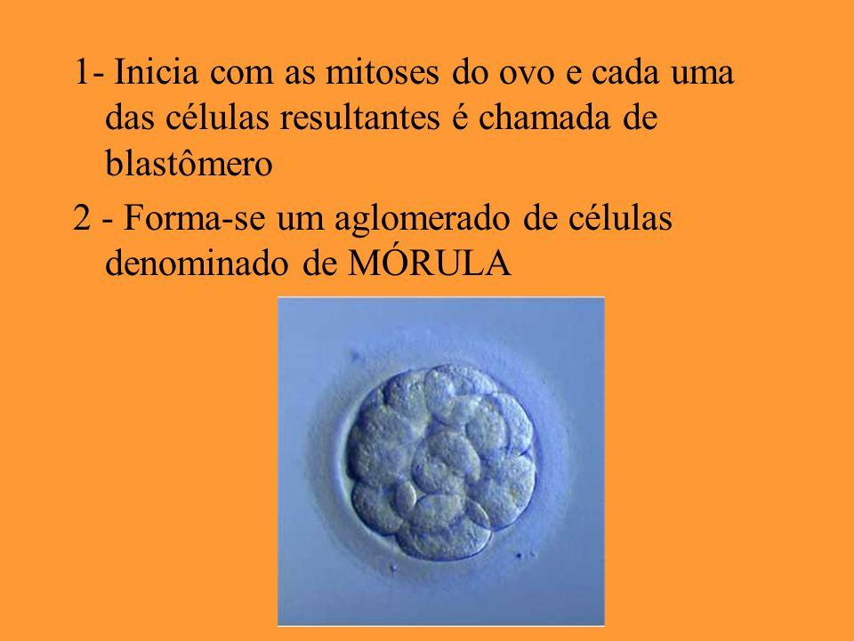 1- Inicia com as mitoses do ovo e cada uma das células resultantes é chamada de blastômero