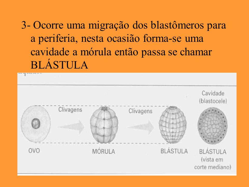 3- Ocorre uma migração dos blastômeros para a periferia, nesta ocasião forma-se uma cavidade a mórula então passa se chamar BLÁSTULA