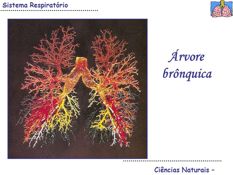 Sistema Respiratório Árvore brônquica Ciências Naturais –