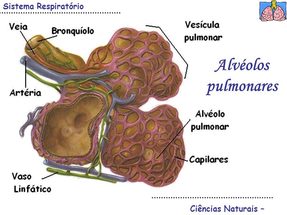 Sistema Respiratório Alvéolos pulmonares Ciências Naturais –