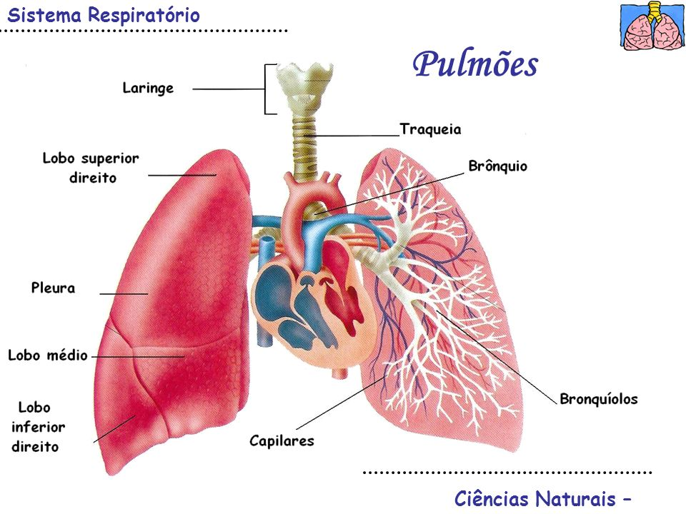 Sistema Respiratório Pulmões Ciências Naturais –