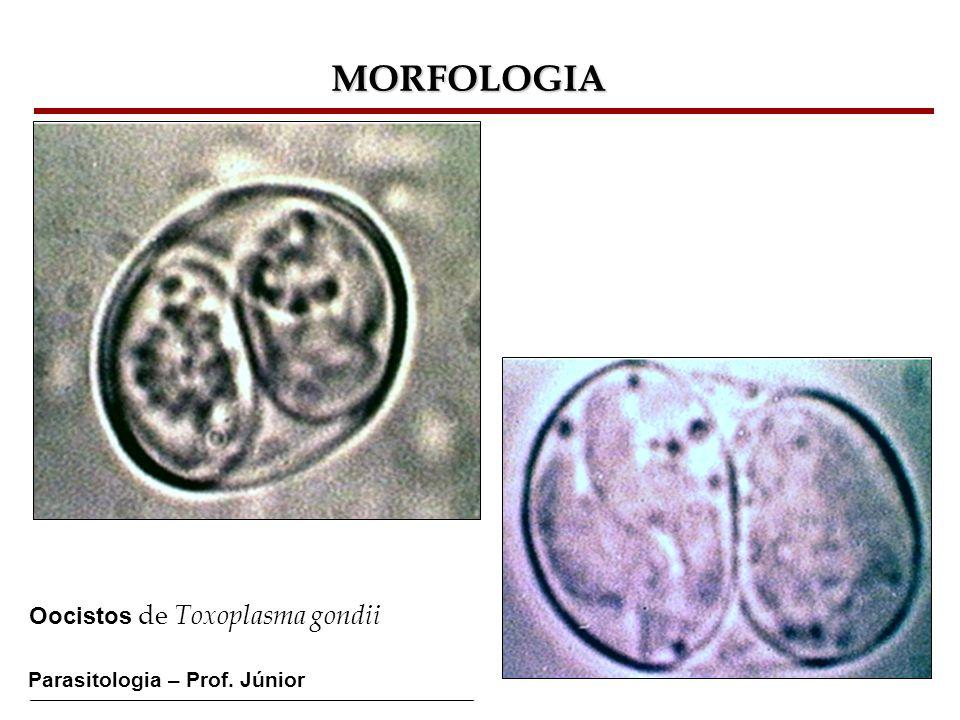 MORFOLOGIA Oocistos de Toxoplasma gondii