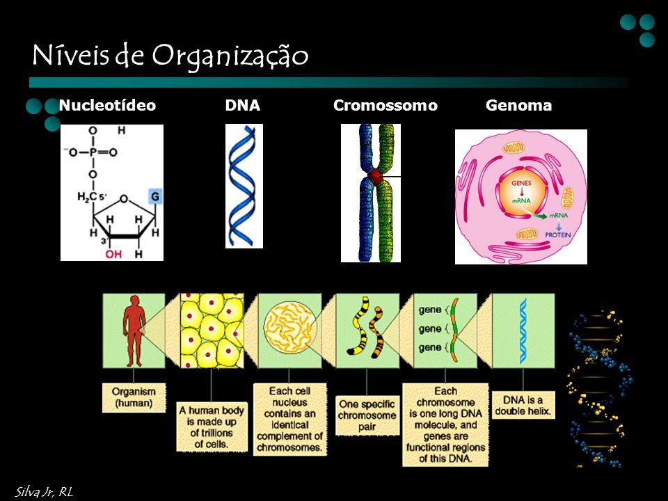 Níveis de Organização Nucleotídeo DNA Cromossomo Genoma