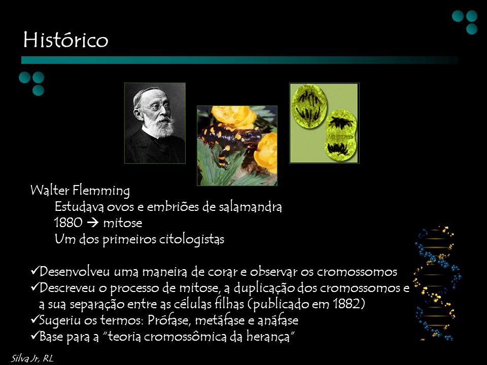 Histórico Walter Flemming Estudava ovos e embriões de salamandra