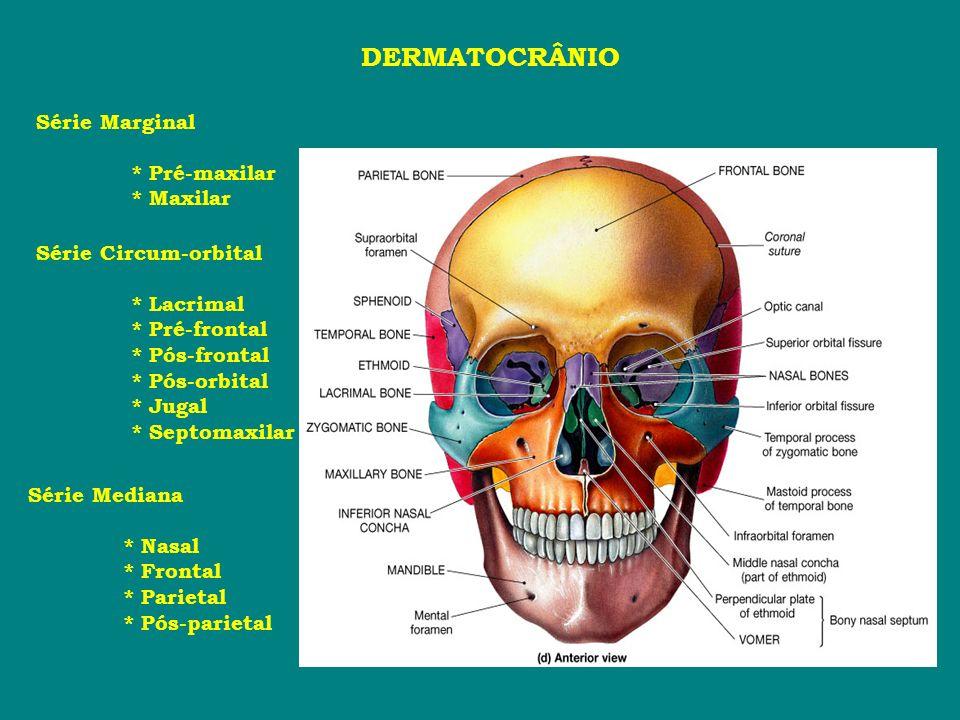 DERMATOCRÂNIO Série Marginal * Pré-maxilar * Maxilar