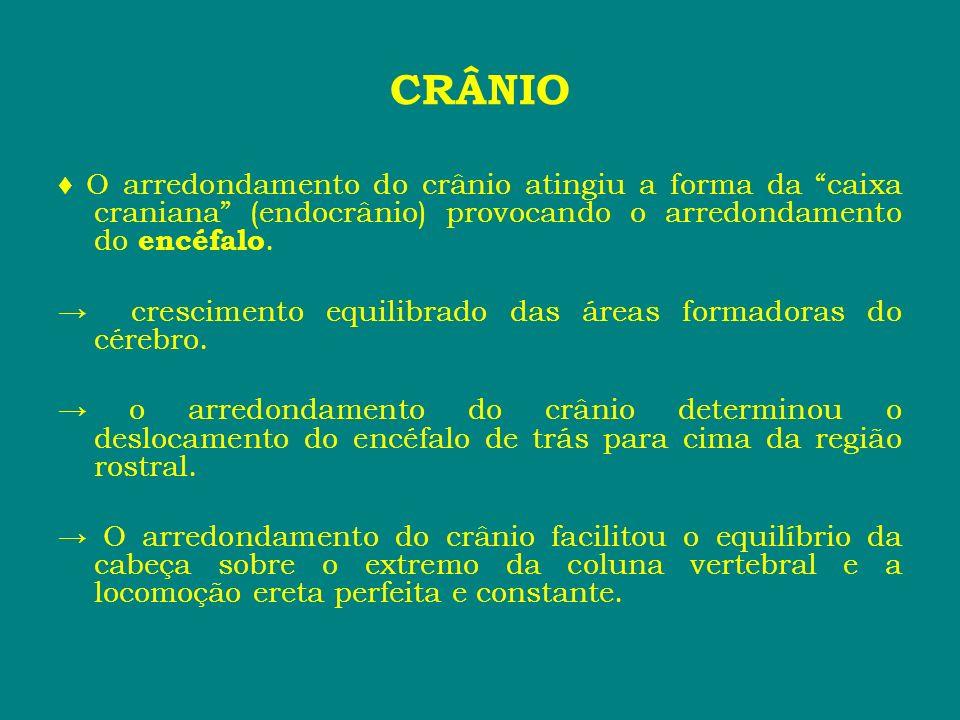 CRÂNIO♦ O arredondamento do crânio atingiu a forma da caixa craniana (endocrânio) provocando o arredondamento do encéfalo.