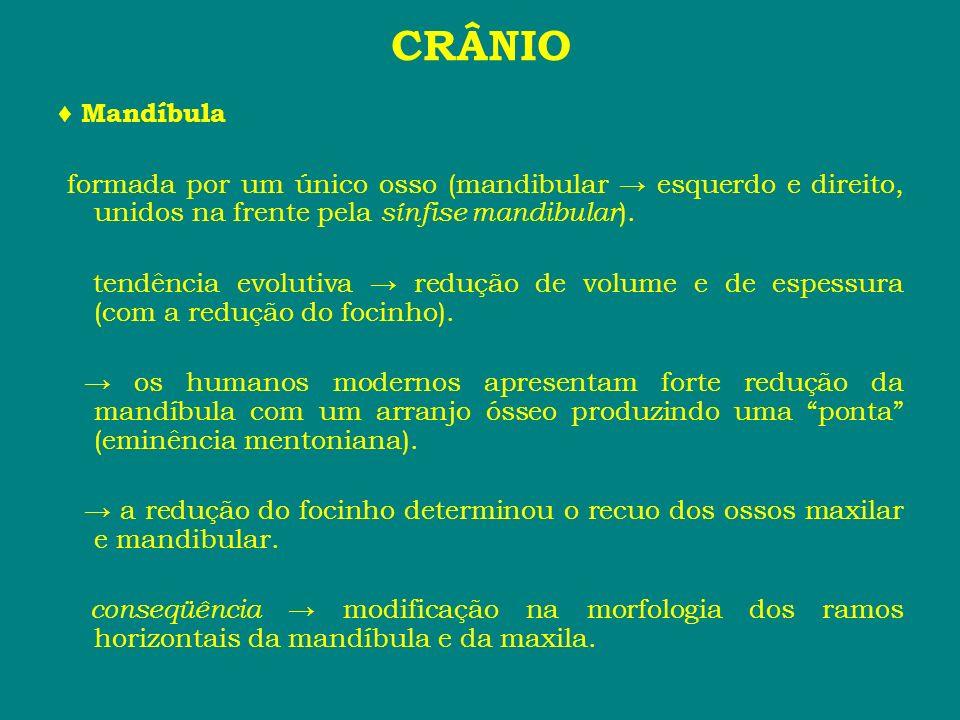 CRÂNIO♦ Mandíbula. formada por um único osso (mandibular → esquerdo e direito, unidos na frente pela sínfise mandibular).
