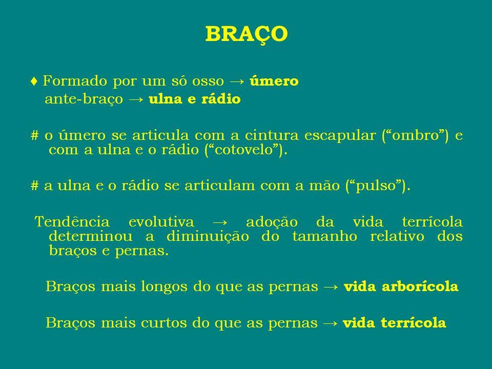 BRAÇO ♦ Formado por um só osso → úmero ante-braço → ulna e rádio