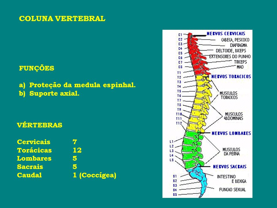 COLUNA VERTEBRAL FUNÇÕES Proteção da medula espinhal. Suporte axial.