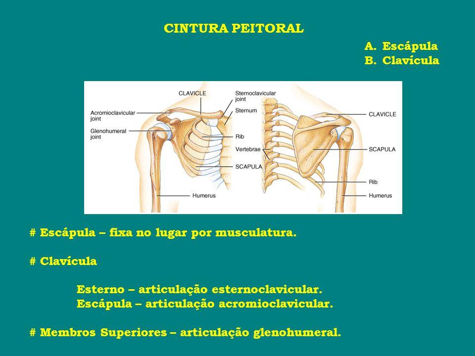 CINTURA PEITORAL Escápula Clavícula