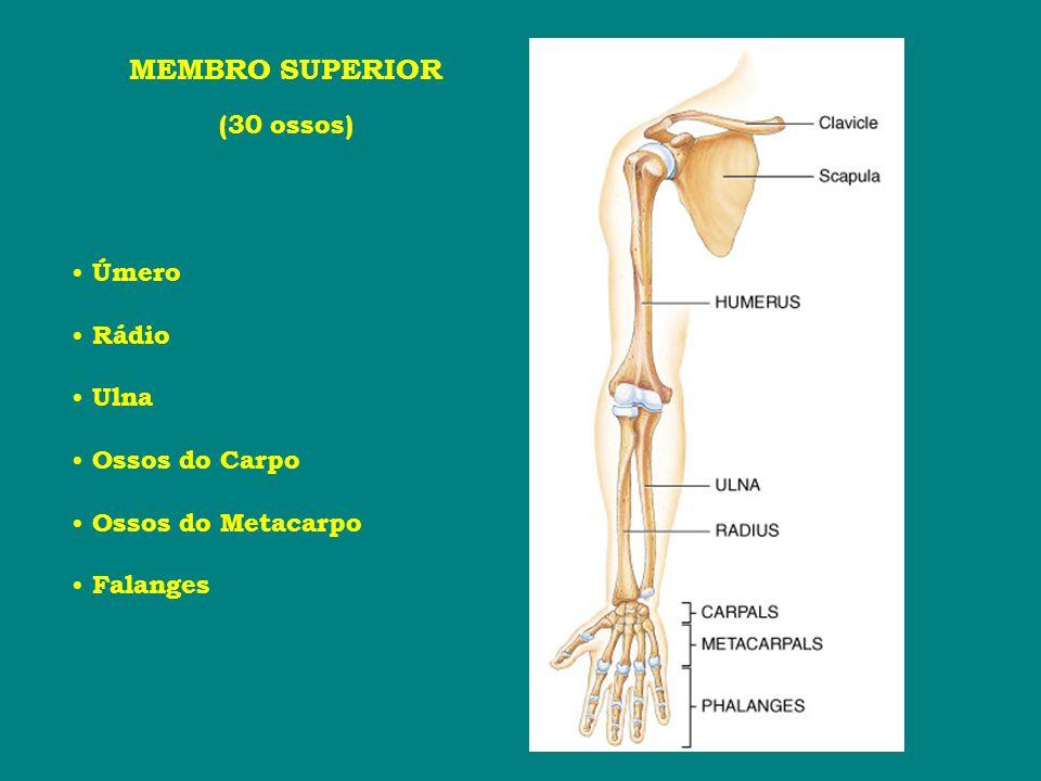 MEMBRO SUPERIOR (30 ossos) Úmero Rádio Ulna Ossos do Carpo