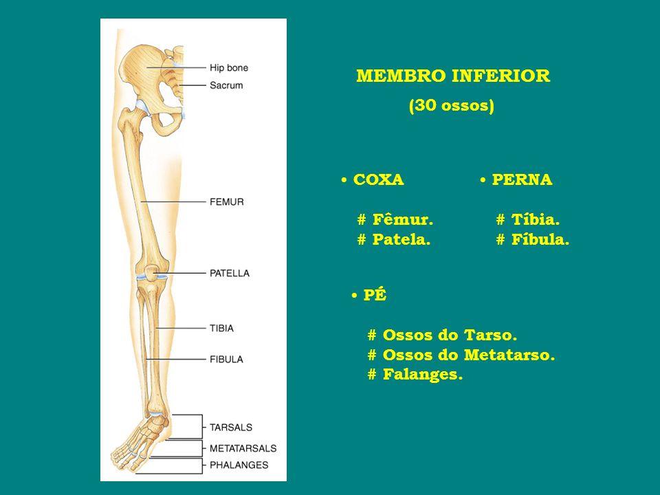 MEMBRO INFERIOR (30 ossos) COXA # Fêmur. # Patela. PERNA # Tíbia.