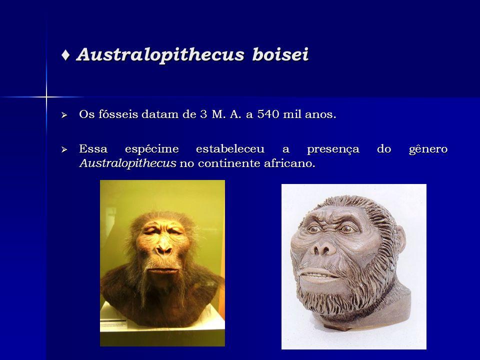 ♦ Australopithecus boisei
