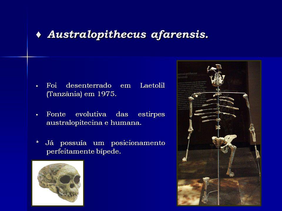 ♦ Australopithecus afarensis.