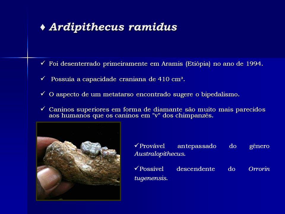 ♦ Ardipithecus ramidus