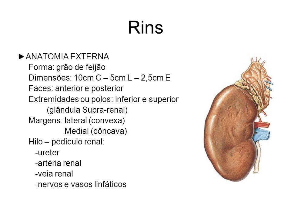 Rins ►ANATOMIA EXTERNA Forma: grão de feijão