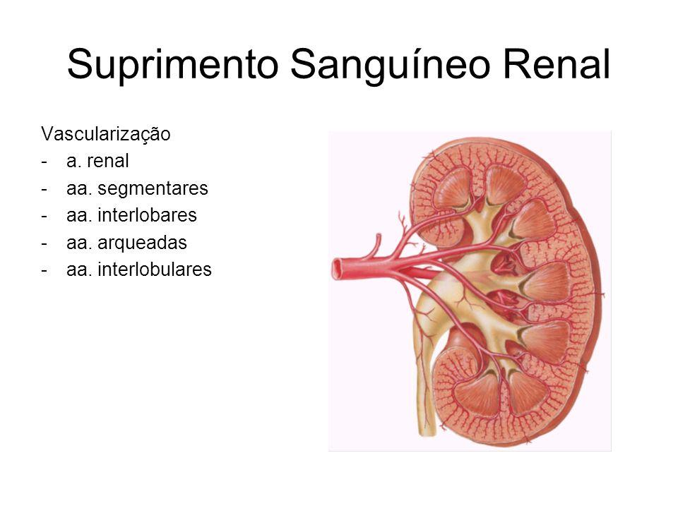 Suprimento Sanguíneo Renal