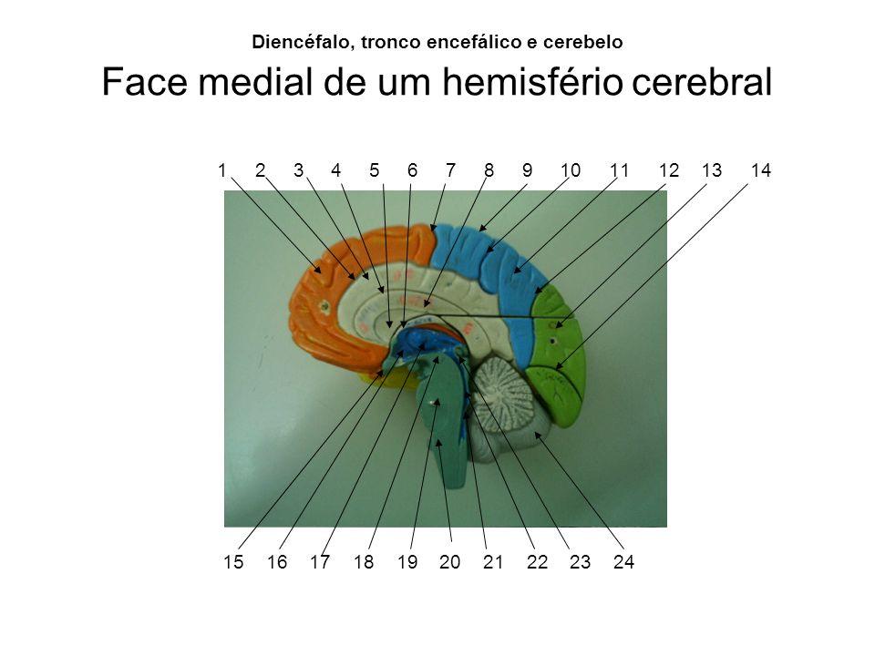 Face medial de um hemisfério cerebral