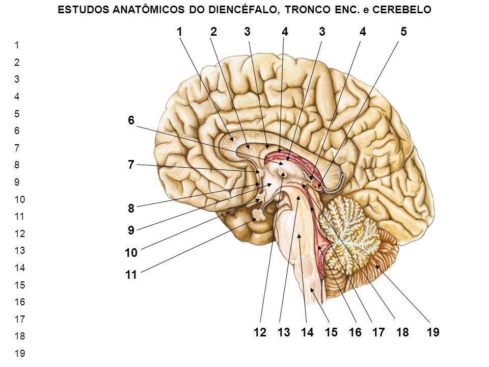 ESTUDOS ANATÔMICOS DO DIENCÉFALO, TRONCO ENC. e CEREBELO