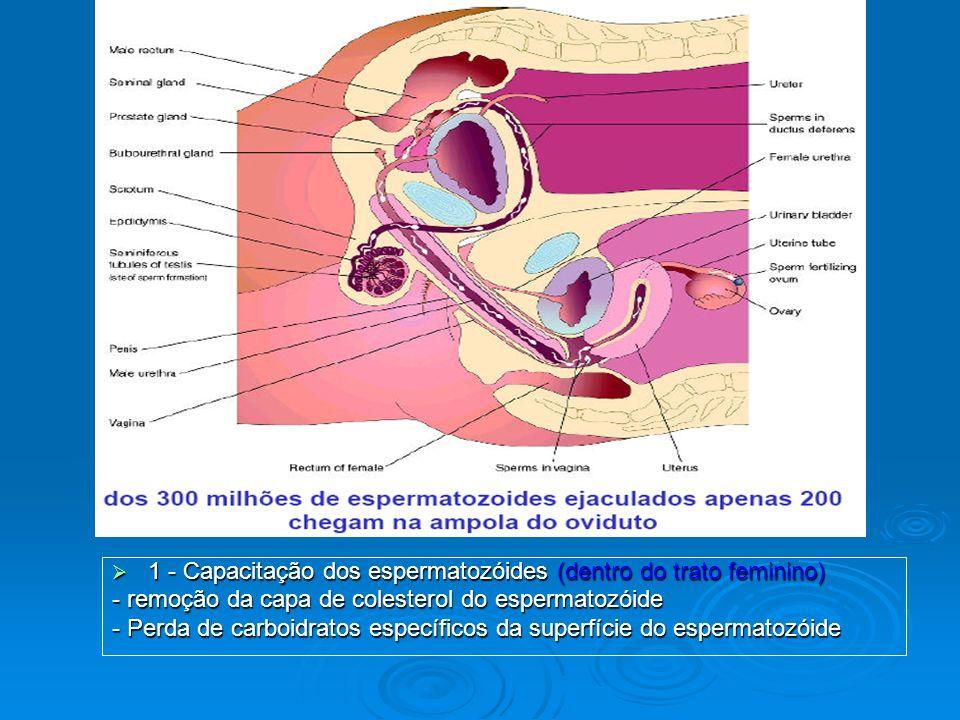 1 - Capacitação dos espermatozóides (dentro do trato feminino)