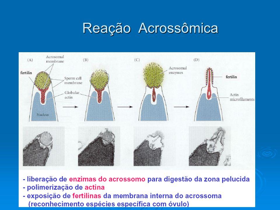 Reação Acrossômica