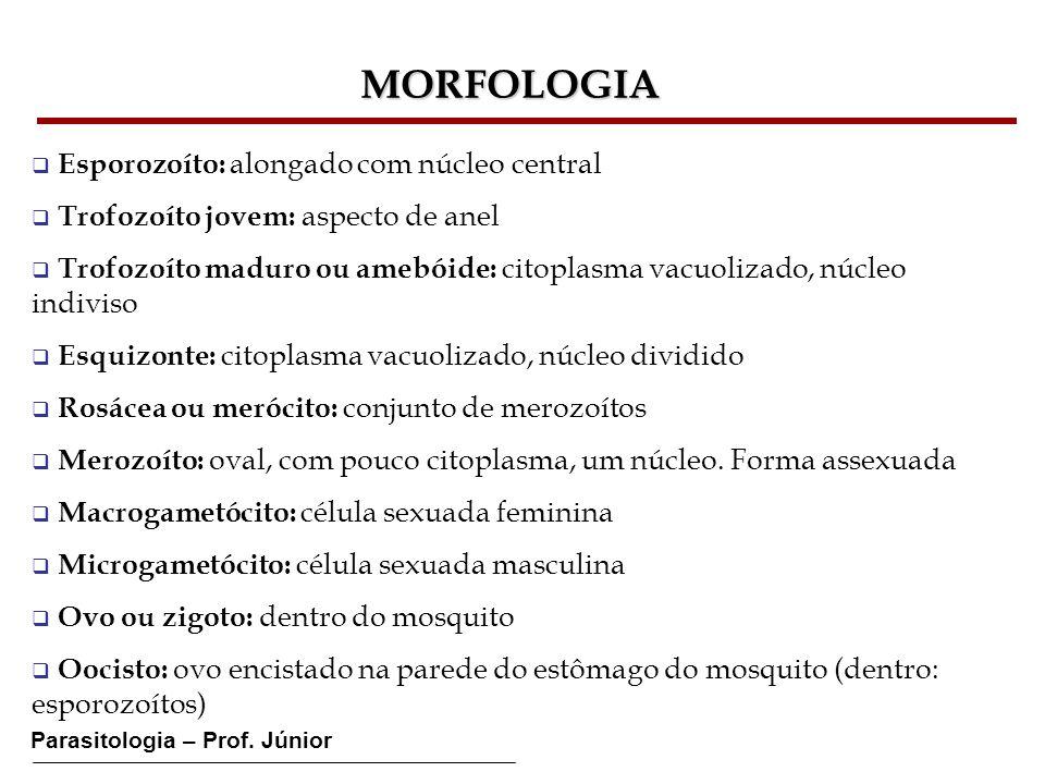 MORFOLOGIA Esporozoíto: alongado com núcleo central