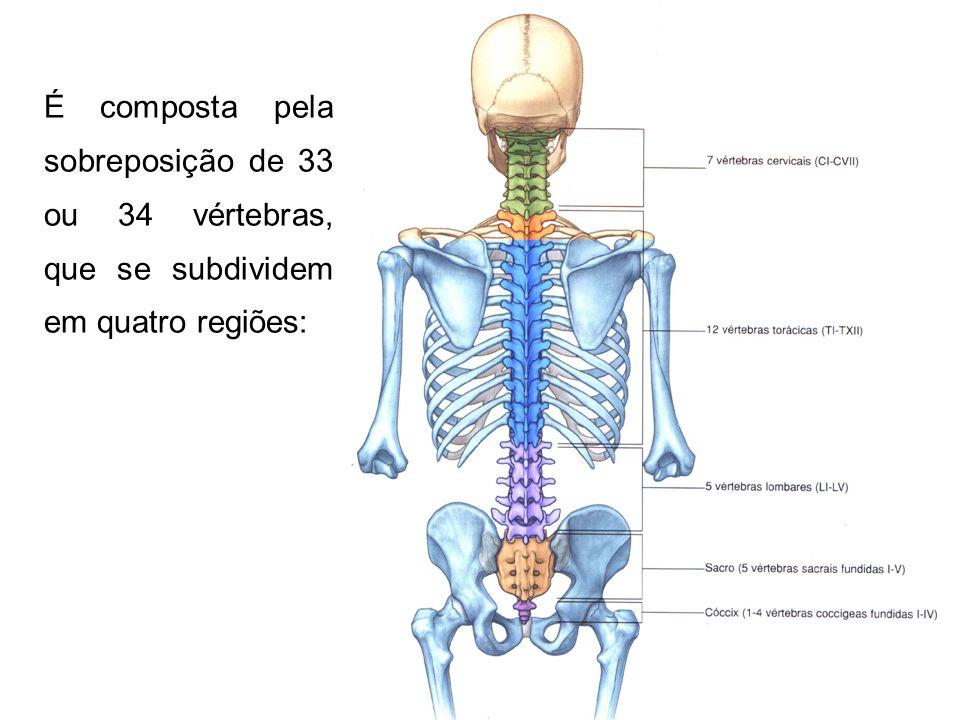 É composta pela sobreposição de 33 ou 34 vértebras, que se subdividem em quatro regiões: