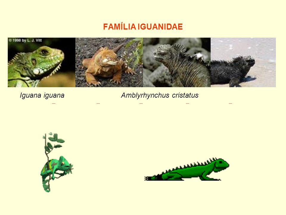 FAMÍLIA IGUANIDAE Iguana iguana.