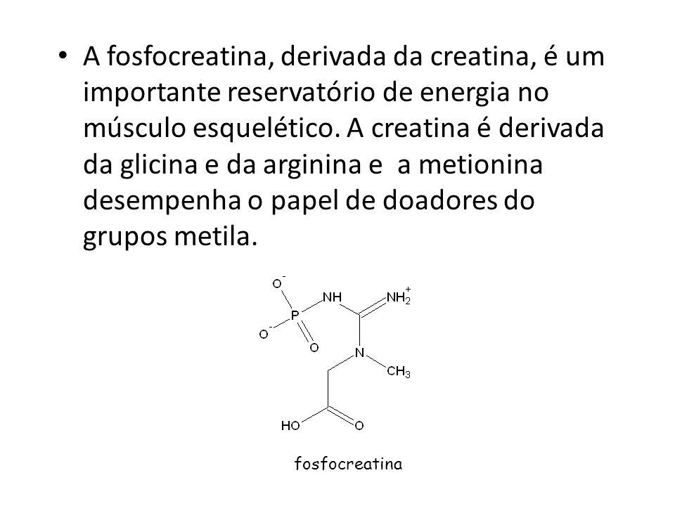 A fosfocreatina, derivada da creatina, é um importante reservatório de energia no músculo esquelético. A creatina é derivada da glicina e da arginina e a metionina desempenha o papel de doadores do grupos metila.