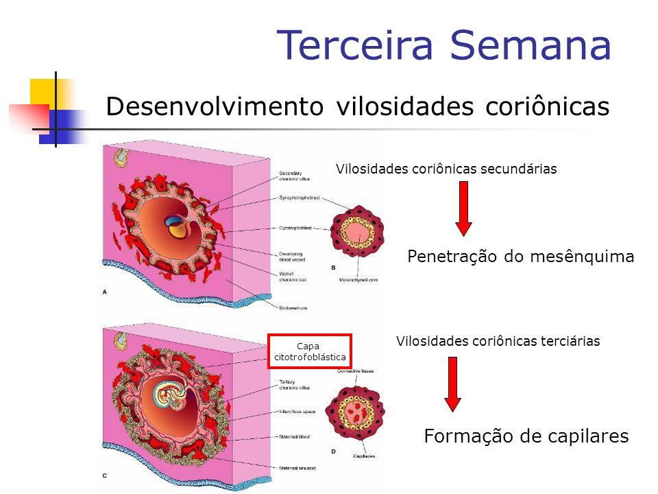 Desenvolvimento vilosidades coriônicas